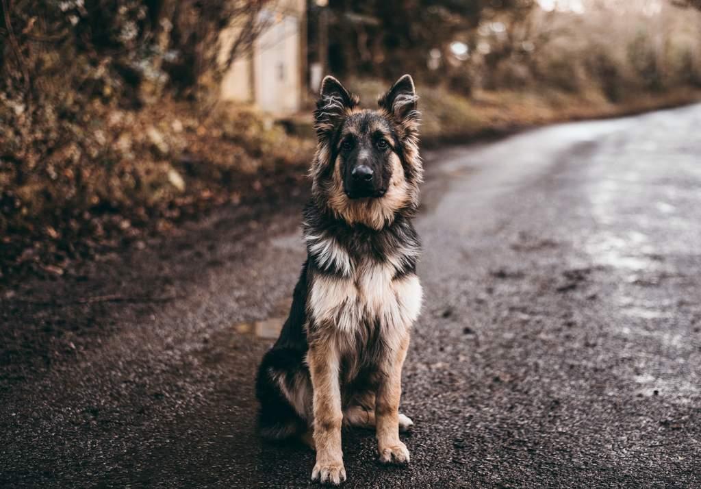 Aunque tu perro se encuentre en esta lista, puede contar con un temperamento más tranquilo si tuvo una socialización y educación adecuada. De igual manera, debes saber que es propenso a sufrir estos escenarios y ser precavido (ARCHIVO)