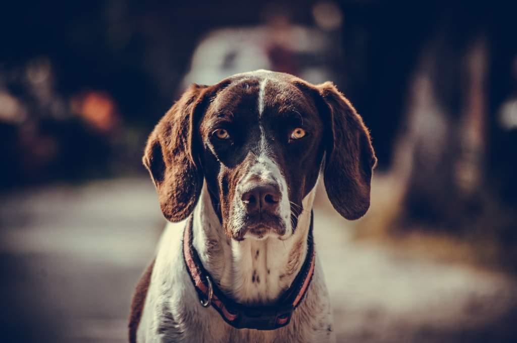 El alzheimer es una enfermedad que afecta a uno de cada dos perros de 15 años o más.  (ESPECIAL)
