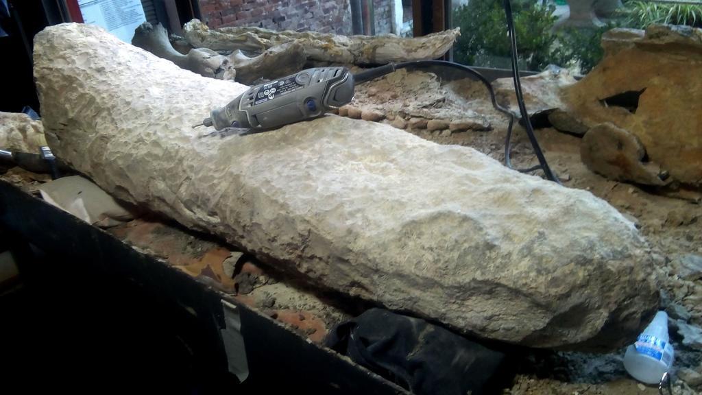 El Museo Paleontológico de San Pedro, ubicado en la provincia de Buenos Aires, cuenta con una nueva pieza de gran valor histórico, una cola fosilizada de un armadillo gigante que vivió en el final de la edad Ensenadense, hace más de 700,000 años. (ARCHIVO)