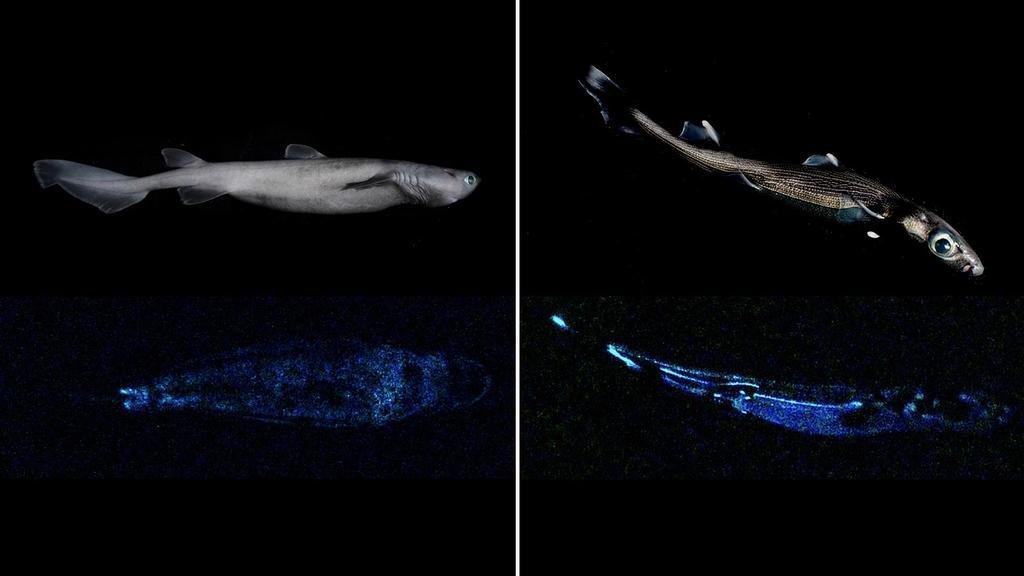 Un tiburón de 1.80 metros de largo, que brilla en la oscuridad y habita las profundidades de las aguas de Nueva Zelanda es el