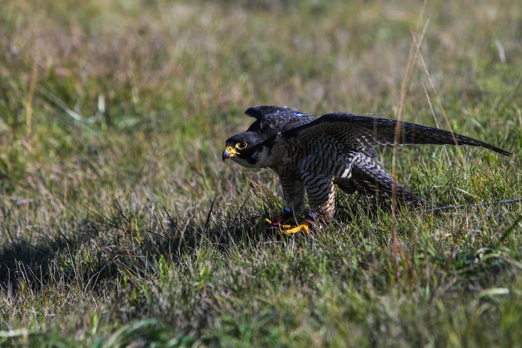 El comportamiento migratorio de las aves estaría asociado a un gen y, gracias a un grupo de halcones peregrinos, los científicos han encontrado la que consideran la mayor evidencia de que este existe. (ARCHIVO)