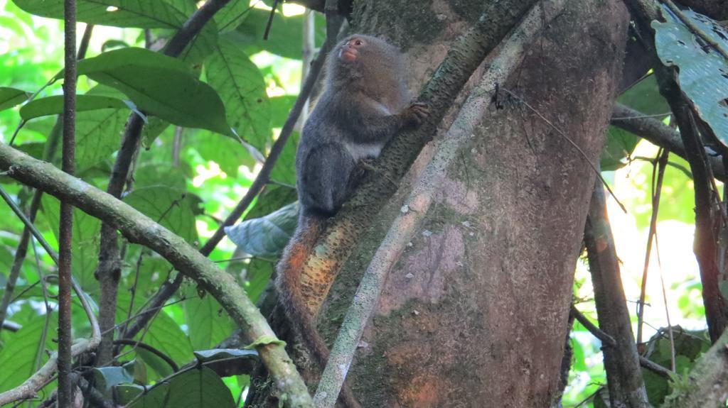 Un equipo de investigadores de varios países descubrió en la Amazonía ecuatoriana una nueva especie de leoncillo, los primates más pequeños del mundo, informó la Universidad San Francisco de Quito (USFQ). (ARCHIVO)