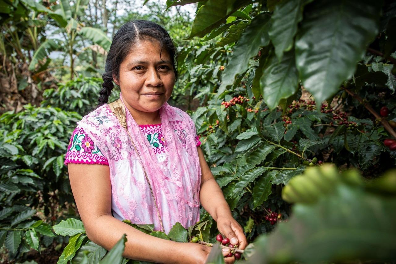 Más de 3 mil 500 pequeñas y pequeños productores comercializan café más sostenible. (EL SIGLO DE TORREÓN)